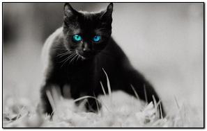 Black Cat Blue Eyes
