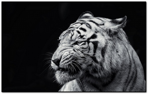 Tiger Face Eyes Black And White