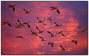 Birds Ducks Flying