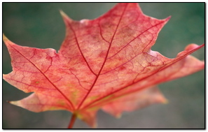 Leaf Maple Autumn
