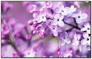 Spring Purple Flowers