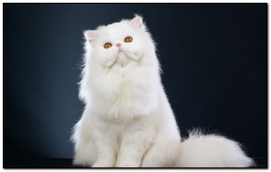 Cat Fluffy Sitting Beautiful
