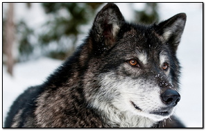 Wolf Predator Face Eyes
