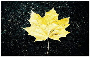 Maple Leaf Fallen Dry