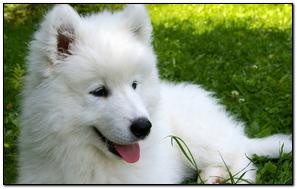 Samoyed Puppy Grass