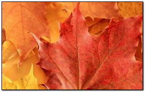 Leaf Maple Dry