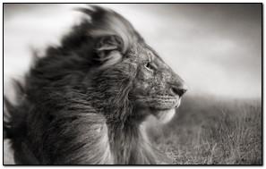 Nick Brandt Lion