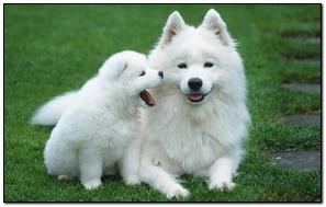 Chó trắng dễ thương