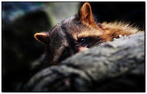 Raccoon Animal Eye
