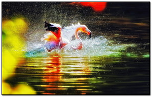 Nước chơi Flamingo