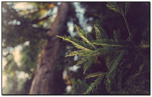 Striped Leaf Tree
