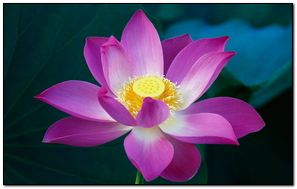 Pink Lotus Flower Mac Os X Lion