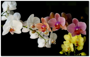 Fresh Colorful Orchids