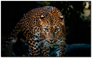 Leopard Serious Look