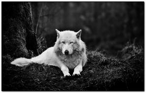 Beautiful White Wolf