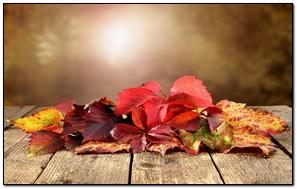 Dry Red Leaf