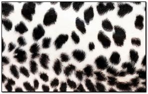 Cheetah Đen Và Trắng Da