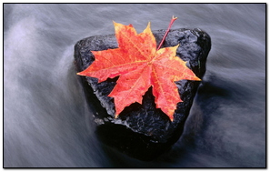 Maple Leaf And The Running Stream