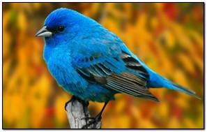 Chim xanh