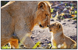 Sư tử và em bé