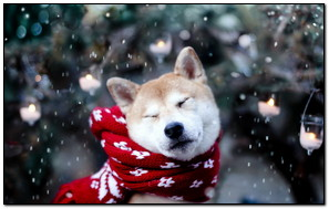 Akita Inu Trong Tuyết