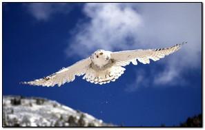 Snowy Owl Flying