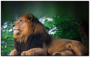Lion King Of Zoo