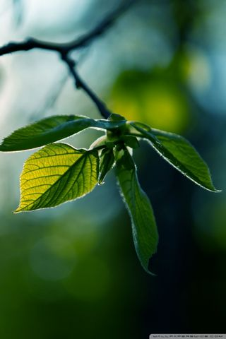 Fresh Green Leaves Summer-wallpaper-640x960