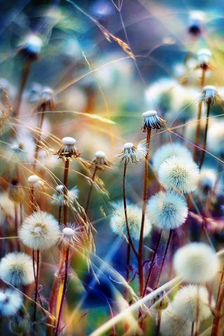 Colourful Dandelions