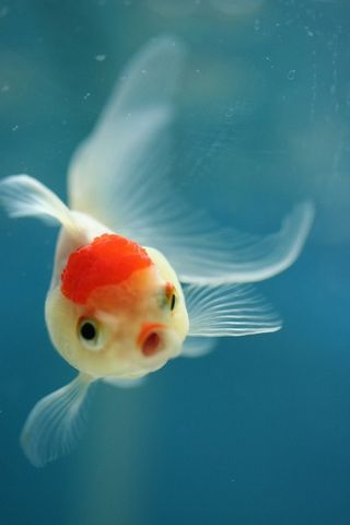 Red And White Fish Hd