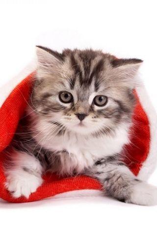 Fluffy-cat-in-santa-hat