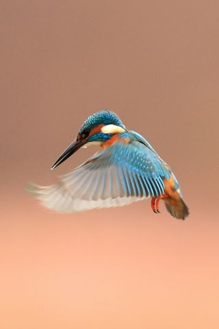 Tiny Kingfisher