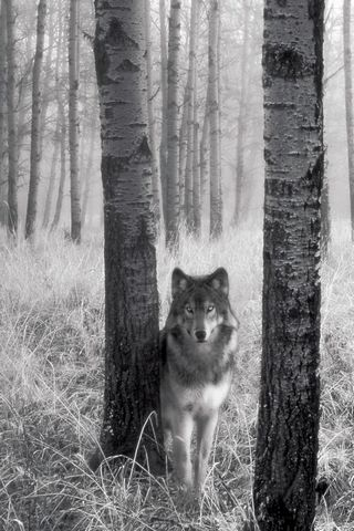 Wolf-in-the Woods