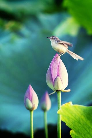 Birds Stand In The Lotus