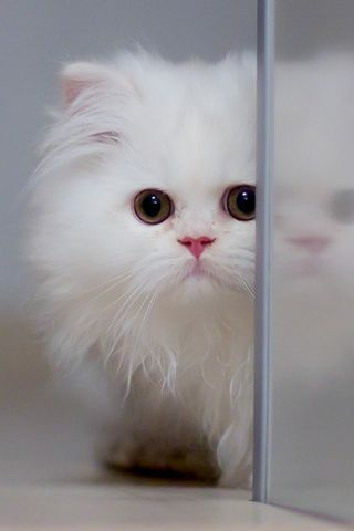 Cute White Cat Hd