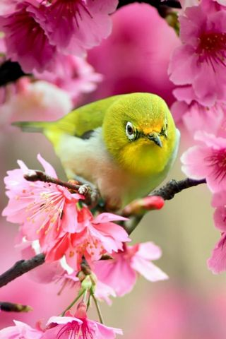Lovely-Japanese-White-Eye-Bird