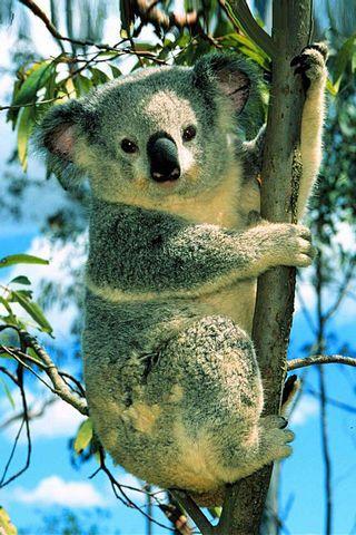 Koala ayısı