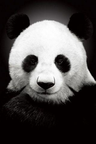 BERUANG PANDA