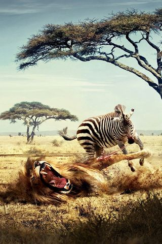 Zebra VS Lion