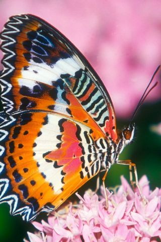 HD Butterfly