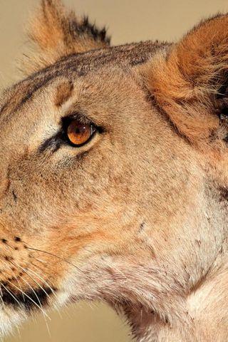 Lioness HD