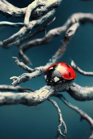 Ladybug Hd