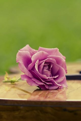Фіолетова троянда