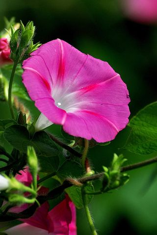 Glória-de-rosa