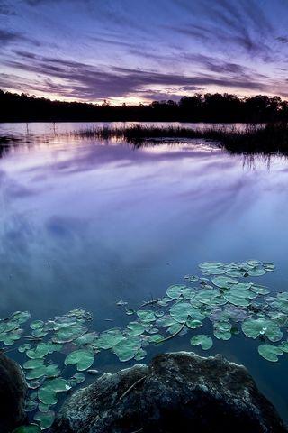 Lake-water-Lily
