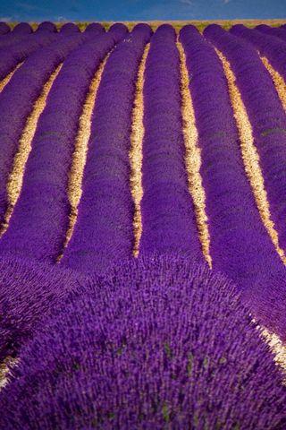 Trường Lavender