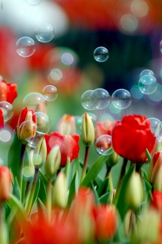 Tulips-And-Bubbles