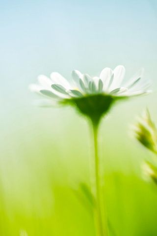 White Aster Flower HD