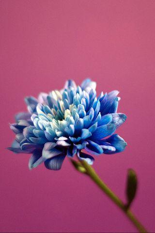 Blue Pink