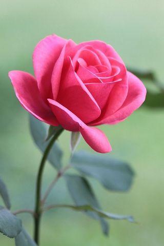 Одноместный роза